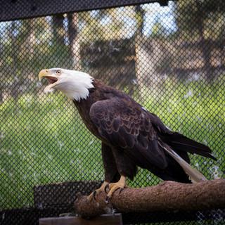 Avista the Bald Eagle