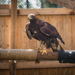 Grace the Golden Eagle