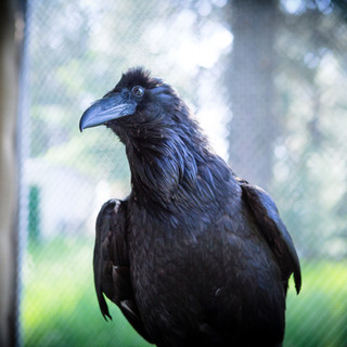 Roscoe the Raven