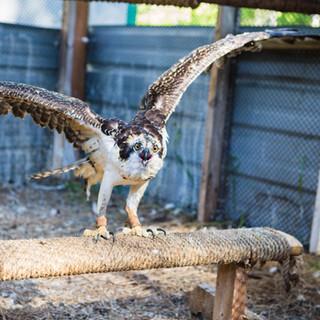 Phoenix the Osprey