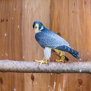 Artie the Peregrine Falcon