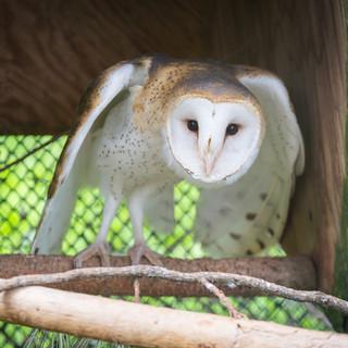 Barny the Barn Owl