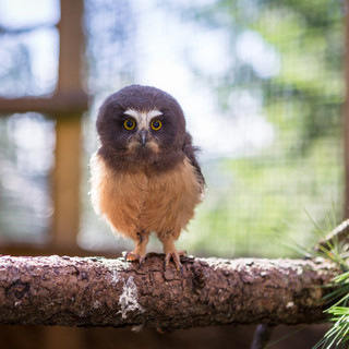 Sassy the Northern Saw-Whet Owl