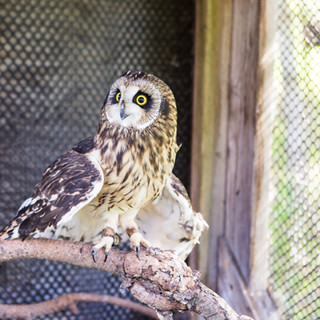 Aurora the Short-Eared Owl