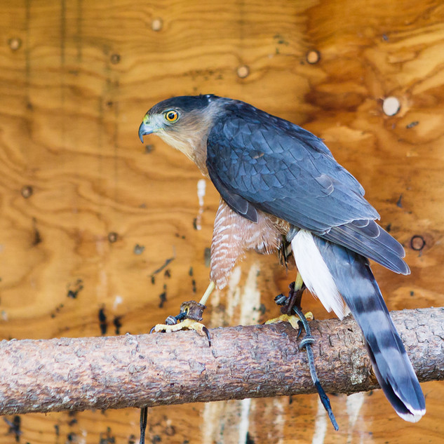Kellogg the Cooper's Hawk