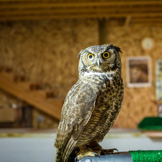 Bubba the Great-Horned Owl