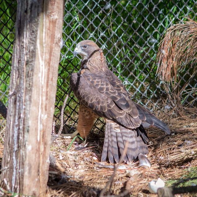 Skybird the Swainson's Hawk