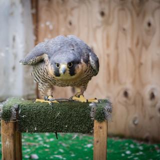 Pennington the Peregrine Falcon