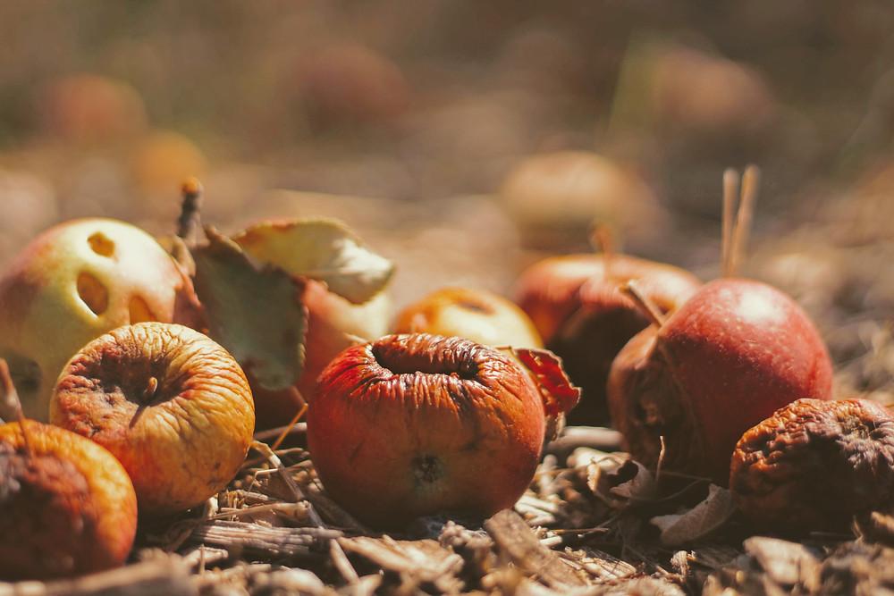rotten apples in a field