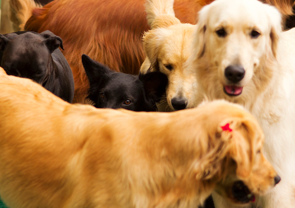 a pack of dogs, golden retriever, boxer, vira lata, srd, cachorro, matilha