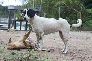 Dogs playing in Pará