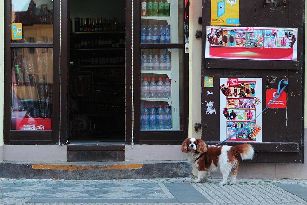 Dog in Praga waiting for his human