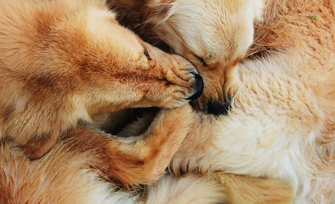 Goldens Retrievers playing, Dogs, Emy Sato, pack life, happy dogs, dog photos