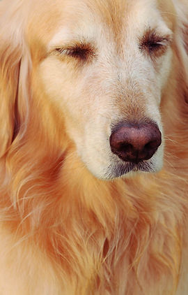 golden retriever, dog, animal, dog photos