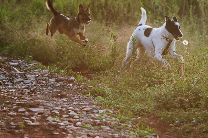 Dogs running in nature