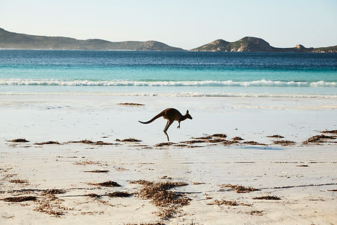 Esperance Kangaroo (8).jpg