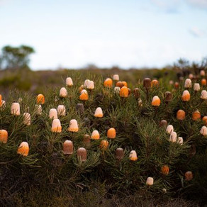 The Top Wildflower Locations throughout Australia's Golden Outback