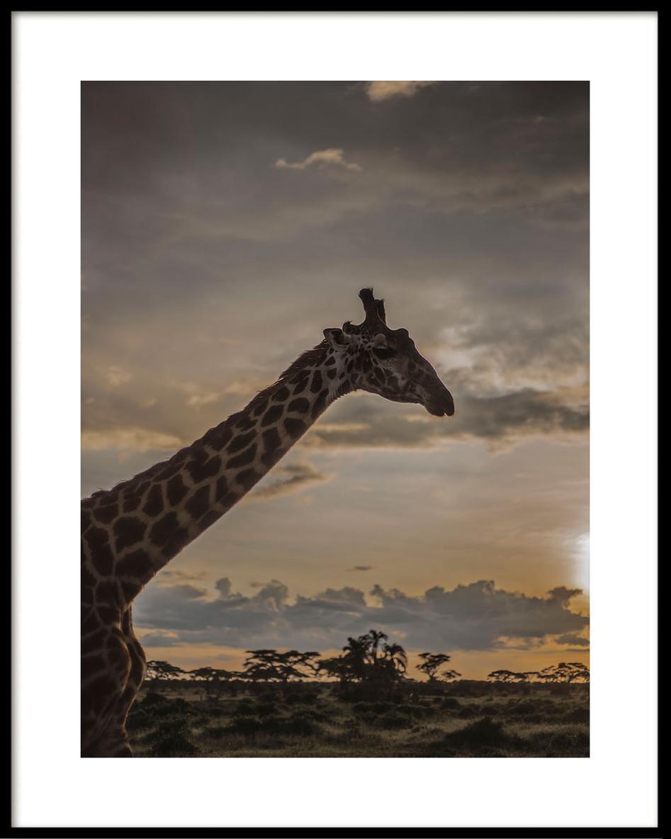 11 Sunrise giraffe