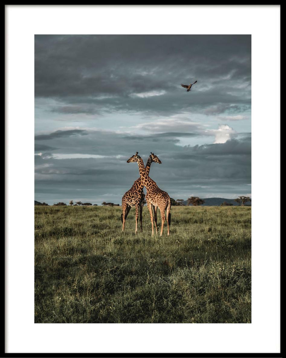 02 Serengeti giraffes