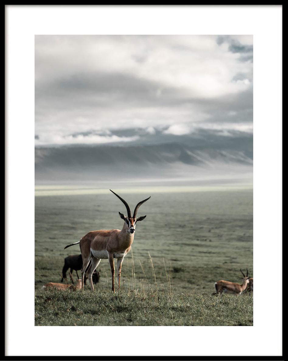 15 Ngorongoro gazelle