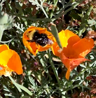 The Pollinator Connection: Bee native