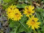 WA dandelions, Nancy A.jpg