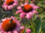 2 bumbles on echinacea kl.jpg