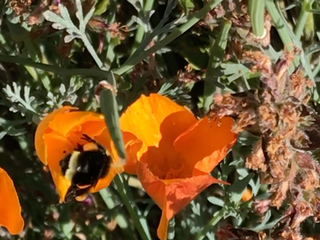 The Pollinator Connection: Hemp offers little to pollinators