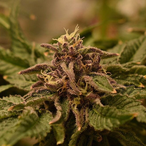 Lemon-Ups F1 - 6 Regular Cannabis Seeds