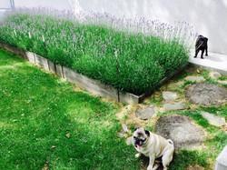 Beet Lavendel mit Möpsen