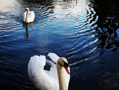 The Thoughts of Swans