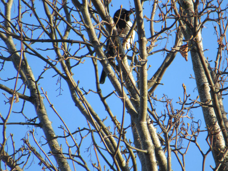 The Corvids and the Passerines