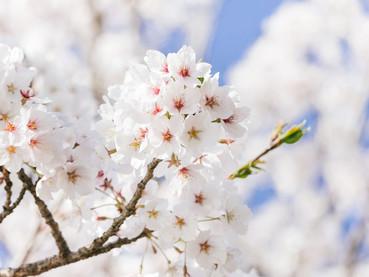 さくら満開!千代田区の桜の名所は、、、