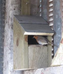 Robin using box