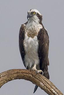 Wildwood Names 'Osprey' as Mascot