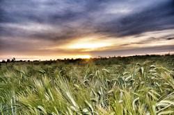 Kornfeld in der Abendsonne