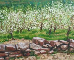 Apple Blossoms II_4675