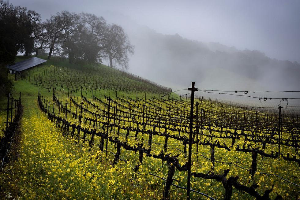 Foggy Morning Mustard