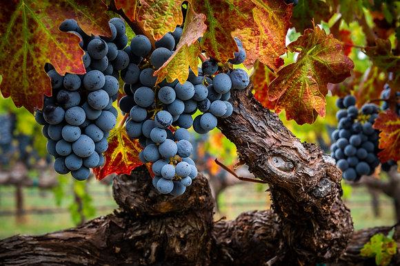 October Vineyard Color