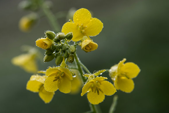 Mustard with Morning Dew
