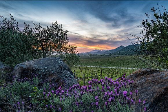 Napa Lavender Sunset