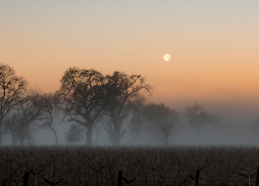 Moonset over Foggy Vineyard
