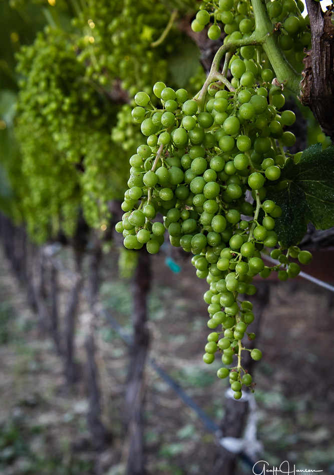 A Row of Young Grapes