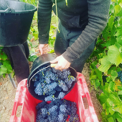 Panier de Pinot Noir - vendanges 2019