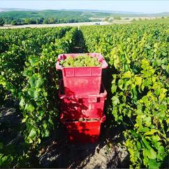 Caisses de Chardonnay - vendanges 2019