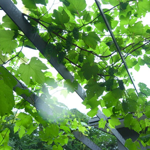 sato-house-grape.jpg