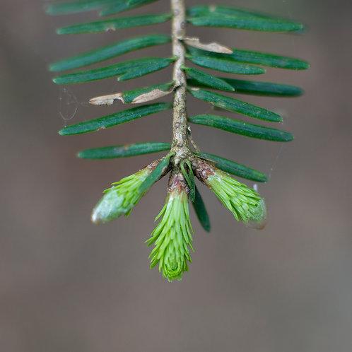 Oh Denneboom...15 bij 15 cm