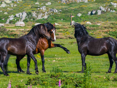 Chevaux sauvages Corse