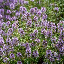 PlantThymeFlowering.jpg