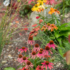 PlantsPrettyConeflowers.jpg